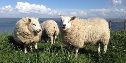 Texel-schapen